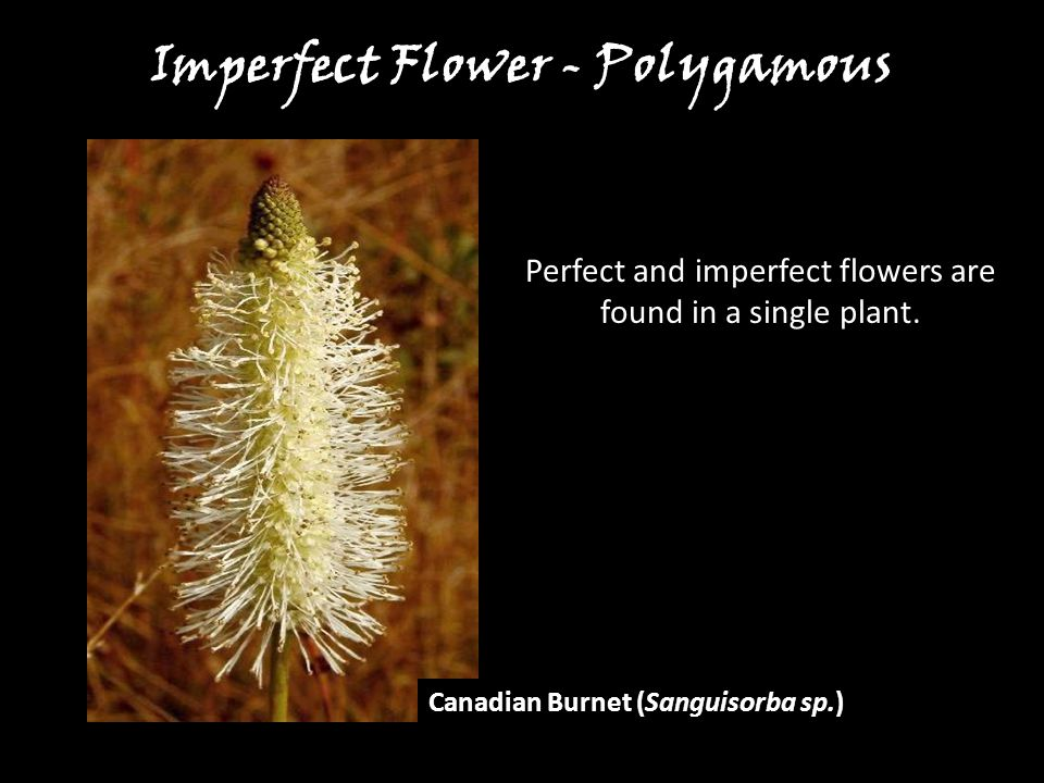 Imperfect Flower - Polygamous
