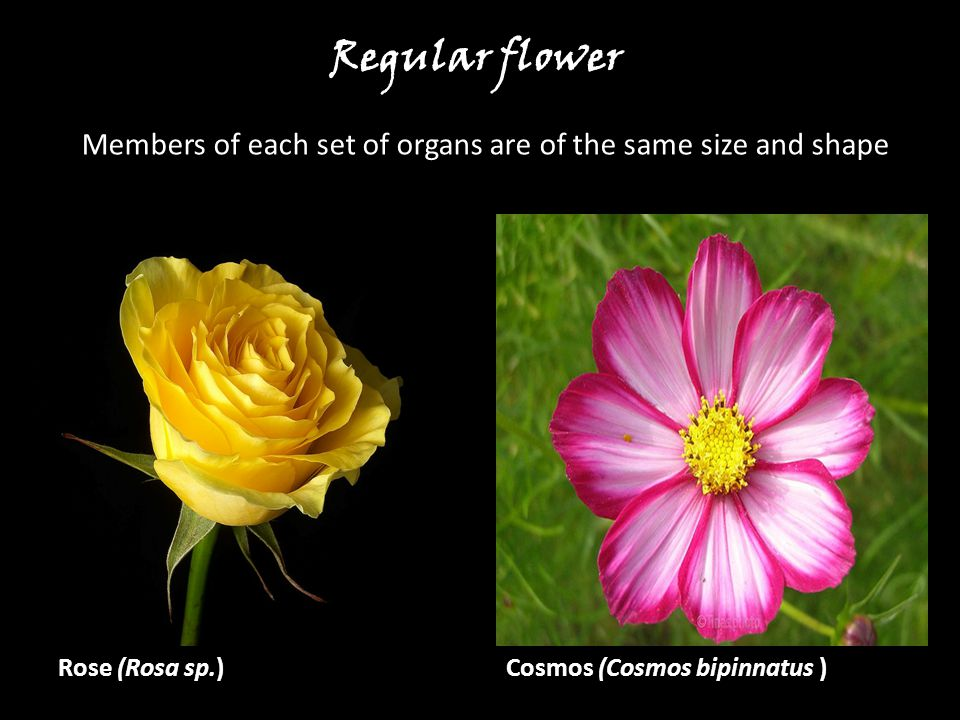 Members of each set of organs are of the same size and shape