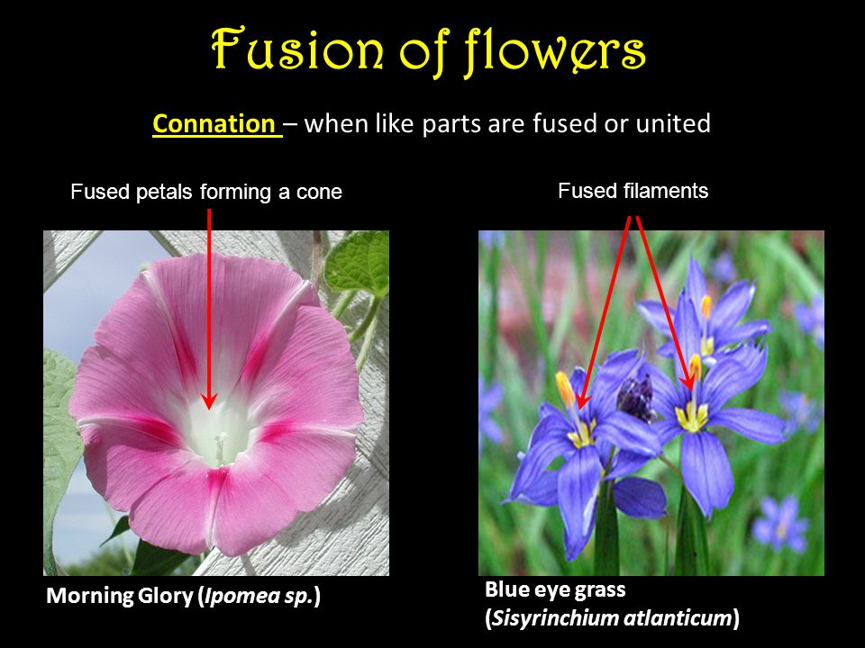 Fusion of flowers Connation – when like parts are fused or united