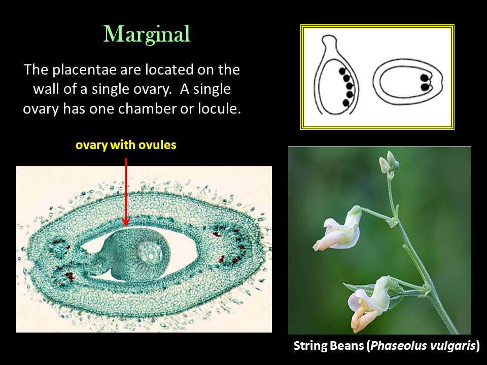 Marginal The placentae are located on the wall of a single ovary. A single ovary has one chamber or locule.