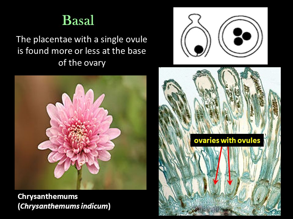 Basal The placentae with a single ovule is found more or less at the base of the ovary. ovaries with ovules.