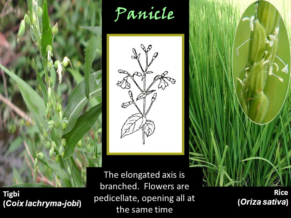 Panicle The elongated axis is branched. Flowers are pedicellate, opening all at the same time. Tigbi.