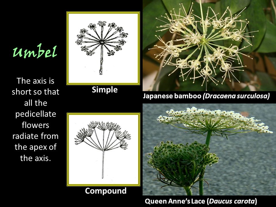 Umbel The axis is short so that all the pedicellate flowers radiate from the apex of the axis. Simple.
