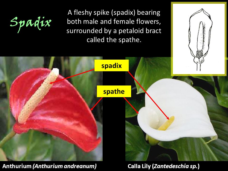 A fleshy spike (spadix) bearing both male and female flowers, surrounded by a petaloid bract called the spathe.