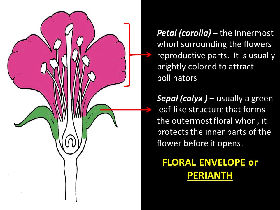 FLORAL ENVELOPE or PERIANTH
