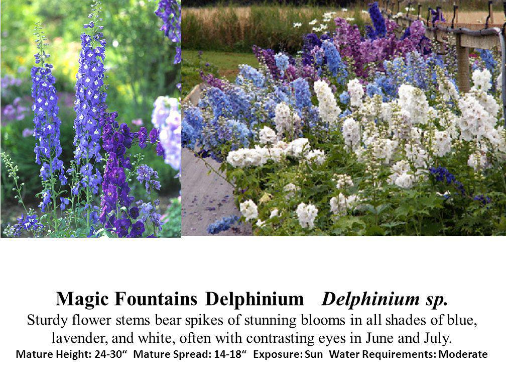 Magic Fountains Delphinium Delphinium sp