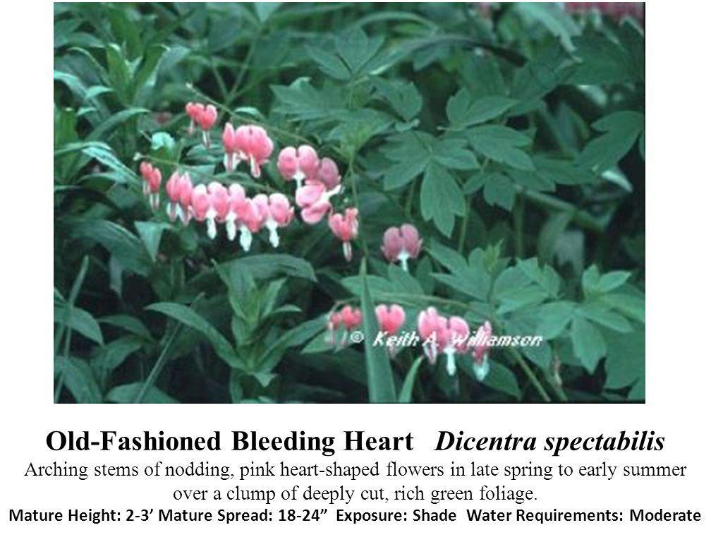 Old-Fashioned Bleeding Heart Dicentra spectabilis Arching stems of nodding, pink heart-shaped flowers in late spring to early summer over a clump of deeply cut, rich green foliage.