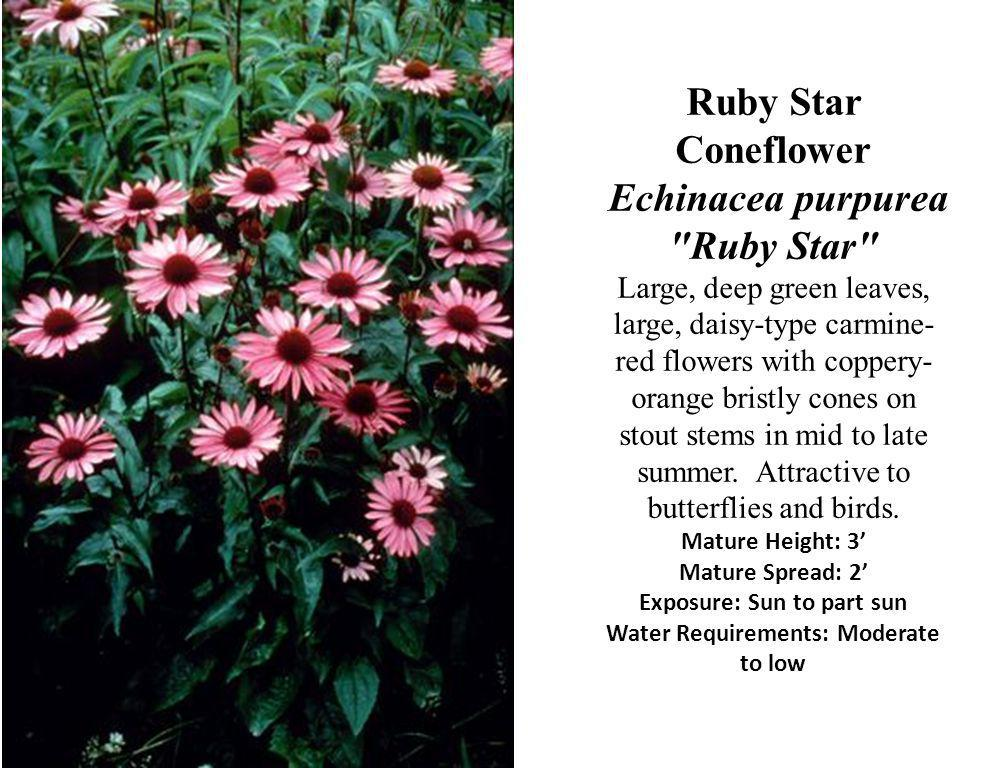 Ruby Star Coneflower Echinacea purpurea Ruby Star Large, deep green leaves, large, daisy-type carmine-red flowers with coppery-orange bristly cones on stout stems in mid to late summer.