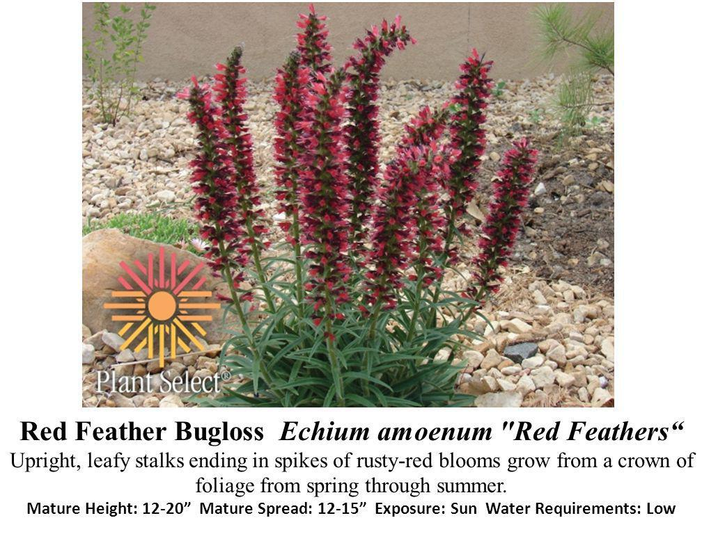 Red Feather Bugloss Echium amoenum Red Feathers Upright, leafy stalks ending in spikes of rusty-red blooms grow from a crown of foliage from spring through summer.