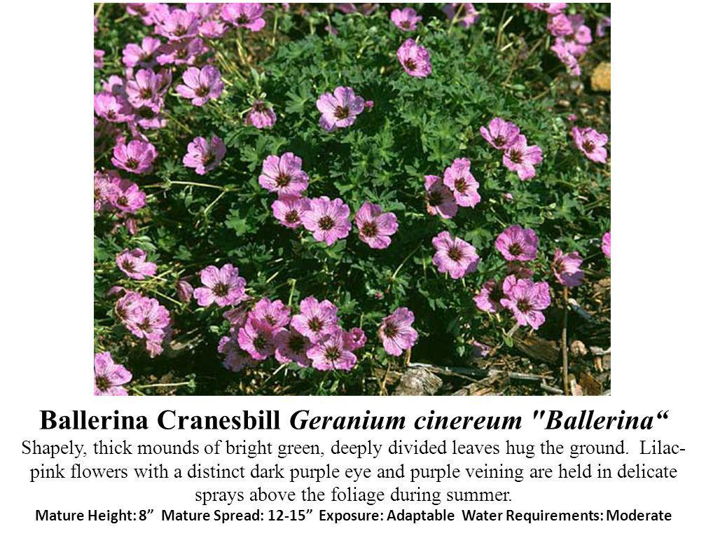 Ballerina Cranesbill Geranium cinereum Ballerina Shapely, thick mounds of bright green, deeply divided leaves hug the ground.