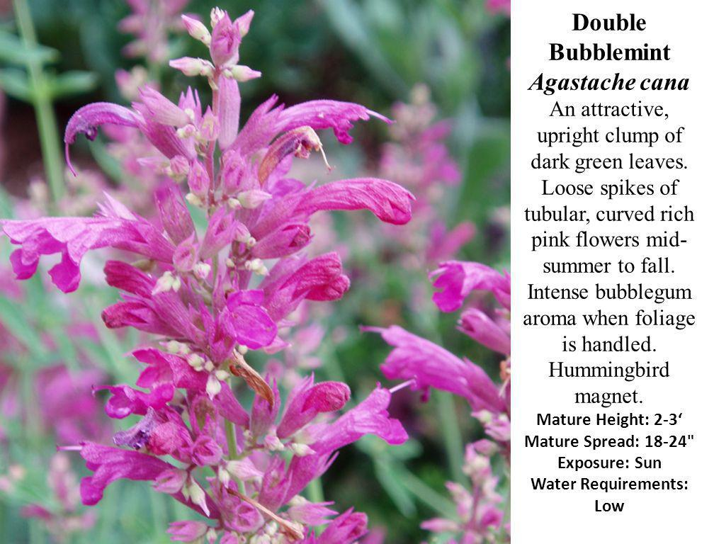Double Bubblemint Agastache cana An attractive, upright clump of dark green leaves.