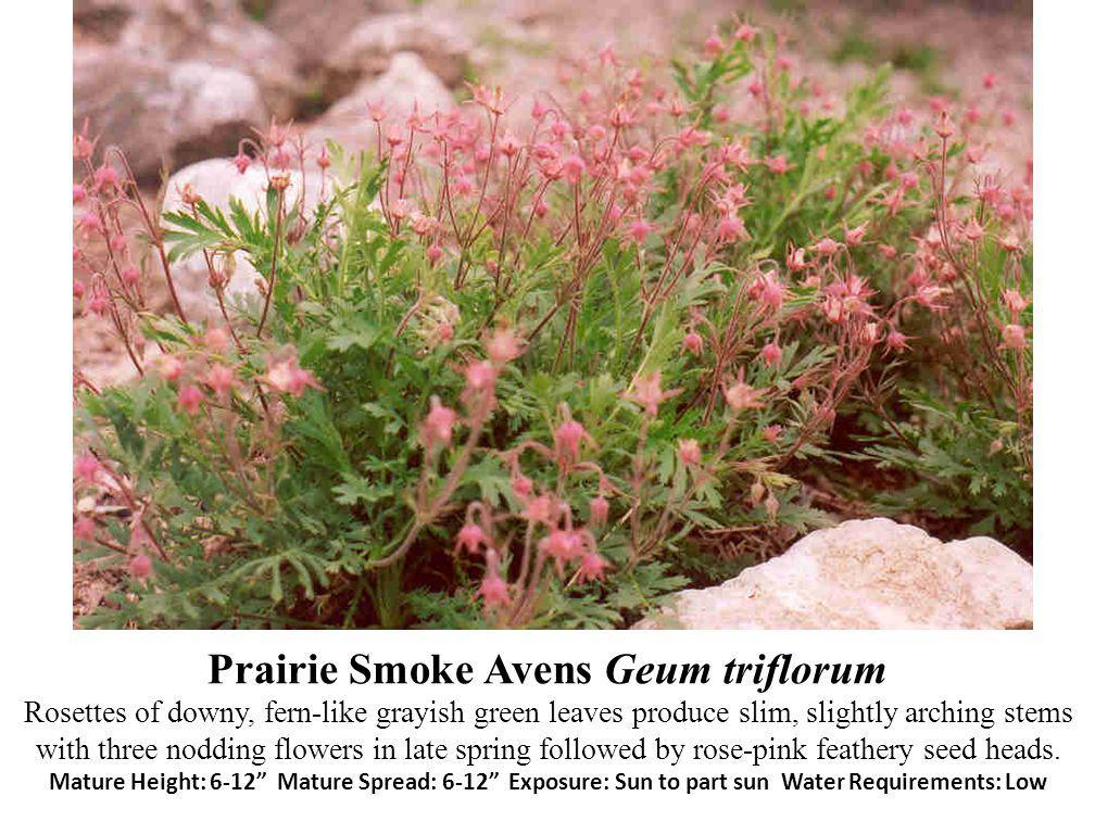 Prairie Smoke Avens Geum triflorum Rosettes of downy, fern-like grayish green leaves produce slim, slightly arching stems with three nodding flowers in late spring followed by rose-pink feathery seed heads.
