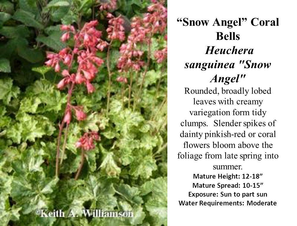 Snow Angel Coral Bells Heuchera sanguinea Snow Angel Rounded, broadly lobed leaves with creamy variegation form tidy clumps.