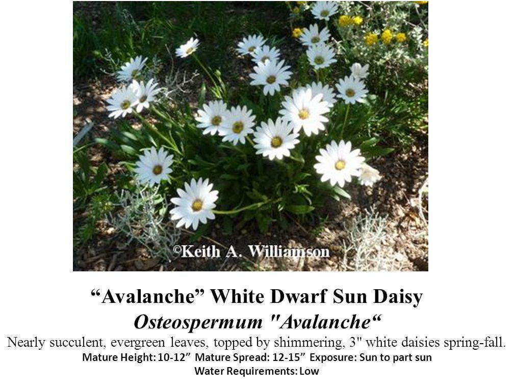 Avalanche White Dwarf Sun Daisy Osteospermum Avalanche Nearly succulent, evergreen leaves, topped by shimmering, 3 white daisies spring-fall.