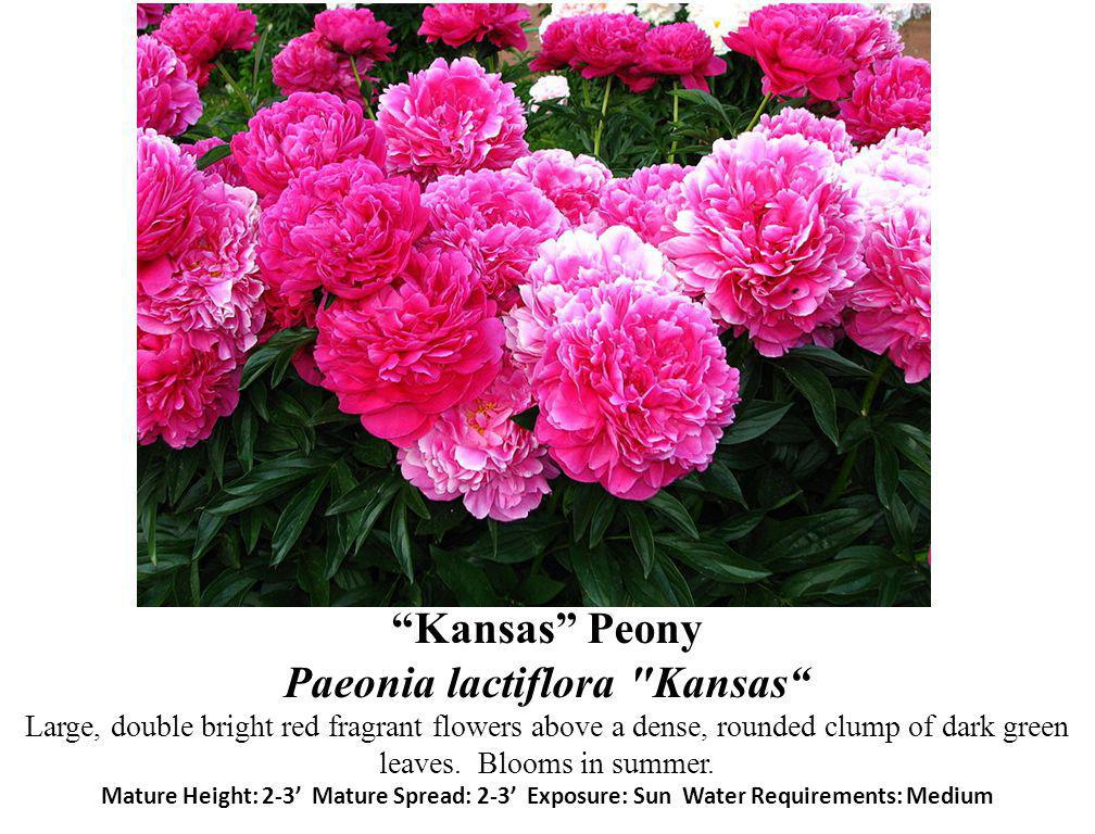 Kansas Peony Paeonia lactiflora Kansas Large, double bright red fragrant flowers above a dense, rounded clump of dark green leaves.