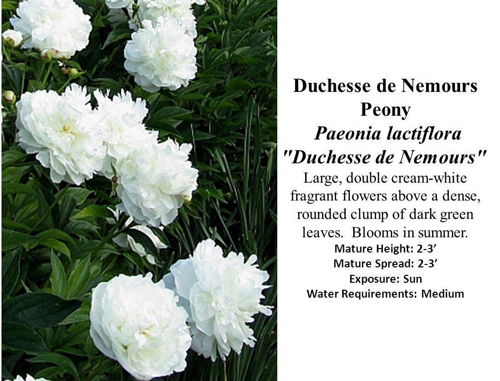 Duchesse de Nemours Peony Paeonia lactiflora Duchesse de Nemours Large, double cream-white fragrant flowers above a dense, rounded clump of dark green leaves.