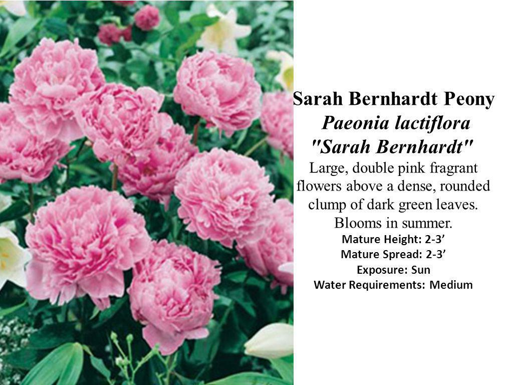 Sarah Bernhardt Peony Paeonia lactiflora Sarah Bernhardt Large, double pink fragrant flowers above a dense, rounded clump of dark green leaves.