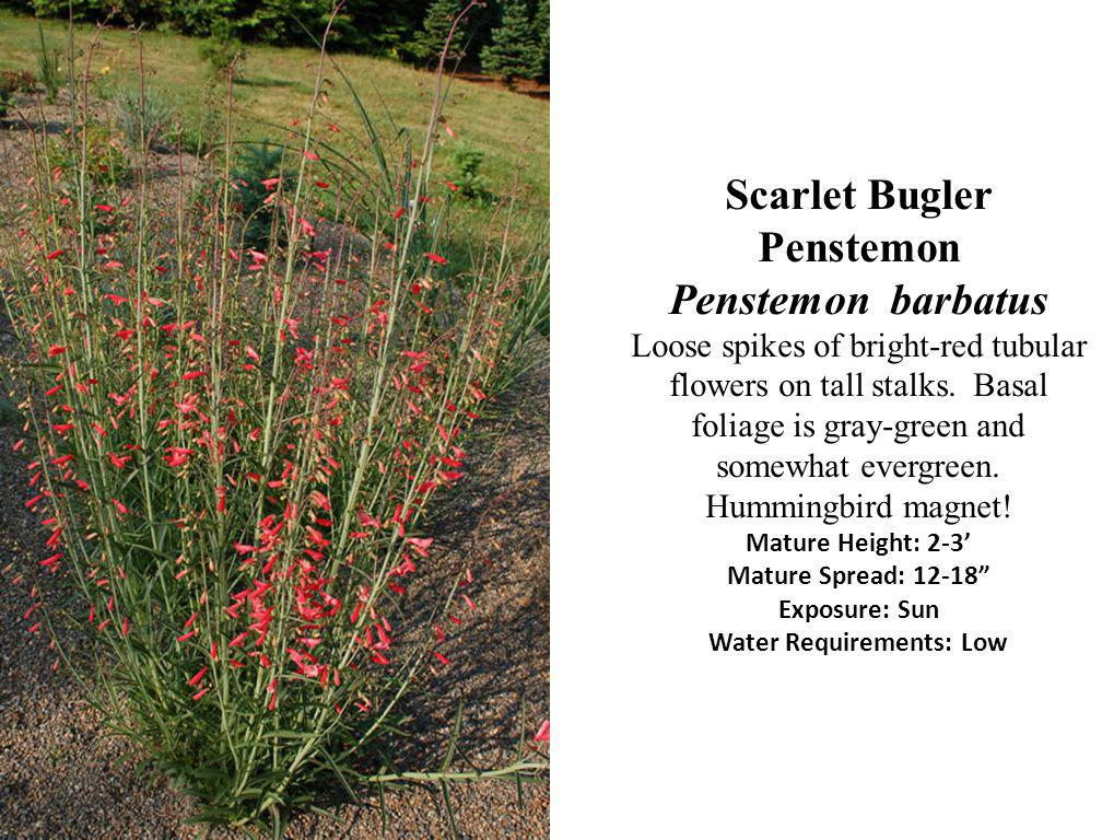 Scarlet Bugler Penstemon Penstemon barbatus Loose spikes of bright-red tubular flowers on tall stalks.