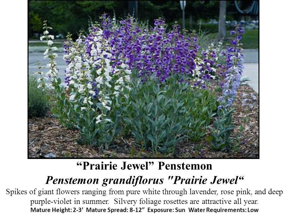 Prairie Jewel Penstemon Penstemon grandiflorus Prairie Jewel Spikes of giant flowers ranging from pure white through lavender, rose pink, and deep purple-violet in summer.