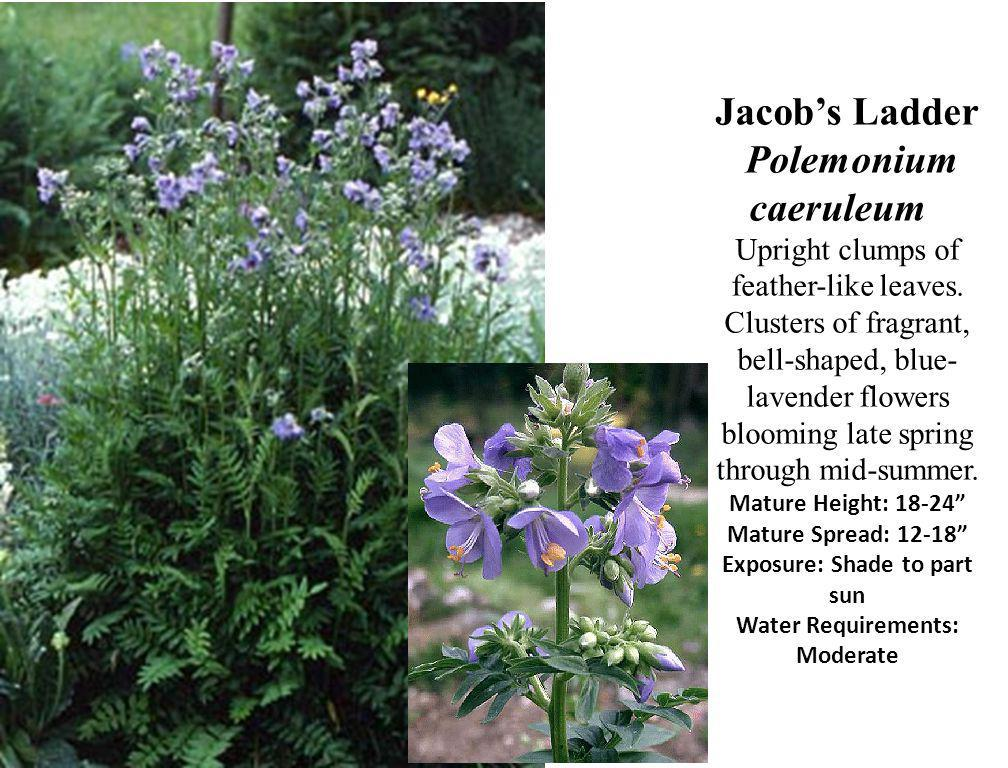 Jacob's Ladder Polemonium caeruleum Upright clumps of feather-like leaves.