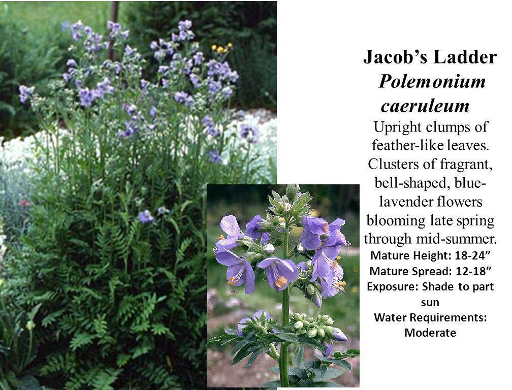 Jacob's Ladder Polemonium caeruleum Upright clumps of feather-like leaves.
