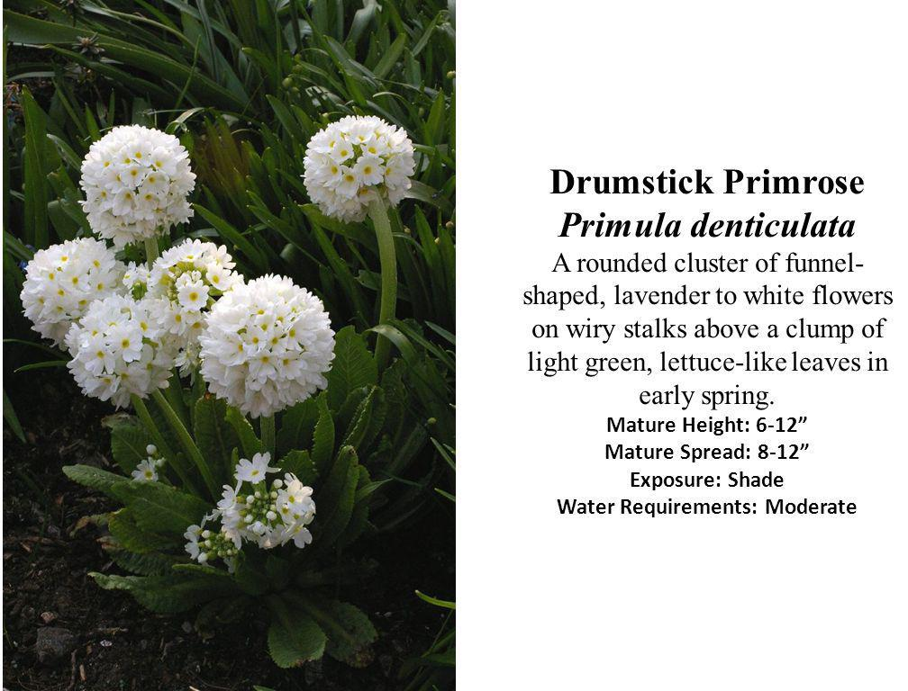 Drumstick Primrose Primula denticulata A rounded cluster of funnel-shaped, lavender to white flowers on wiry stalks above a clump of light green, lettuce-like leaves in early spring.