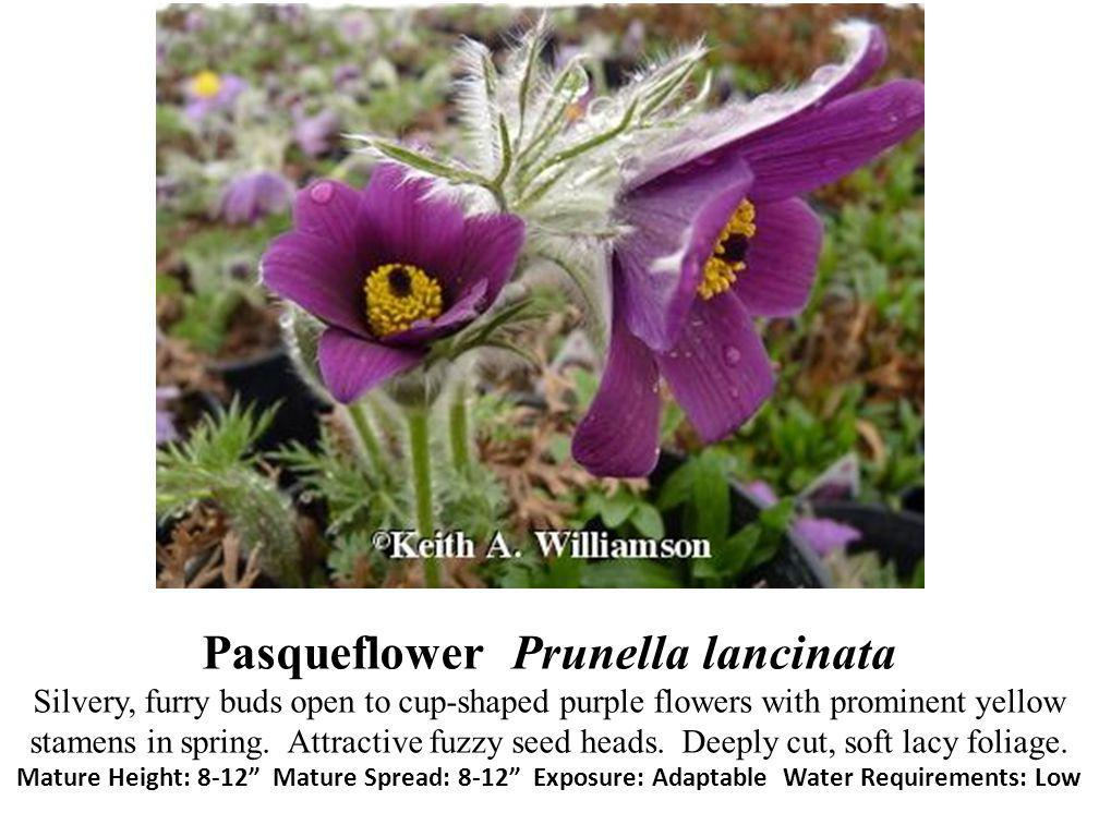 Pasqueflower Prunella lancinata Silvery, furry buds open to cup-shaped purple flowers with prominent yellow stamens in spring.