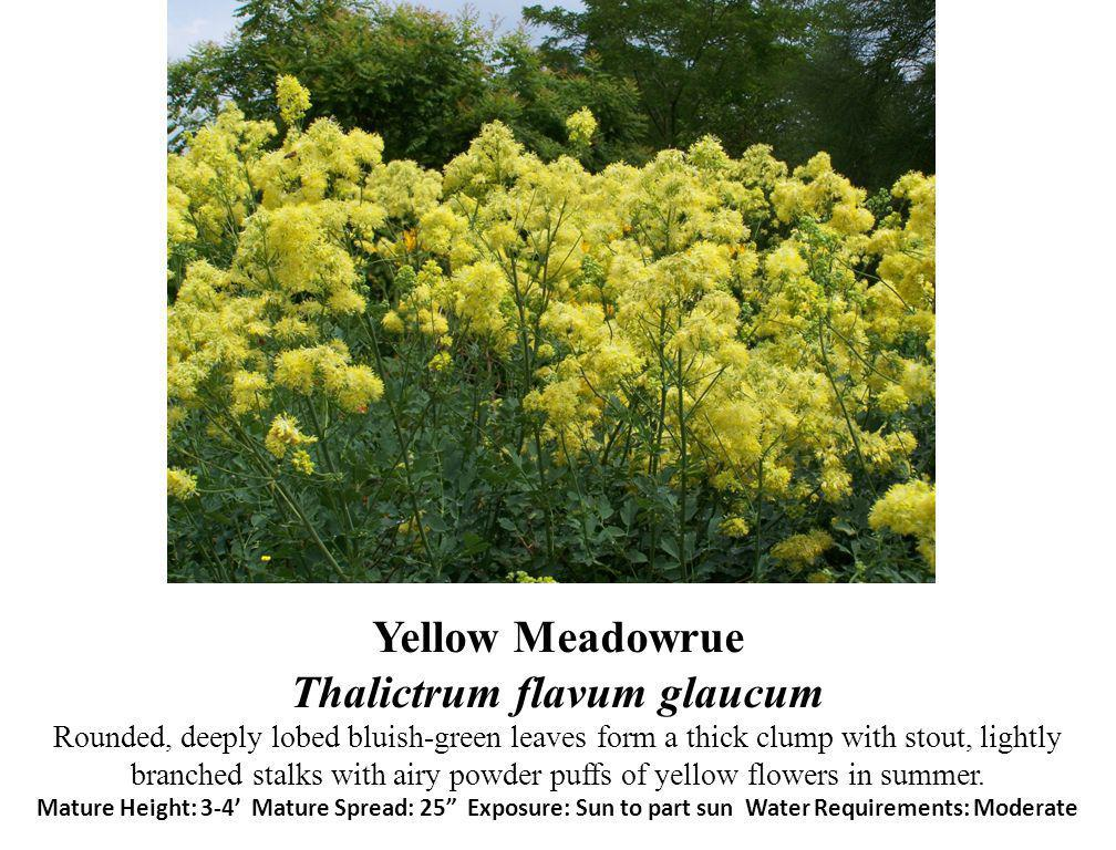 Yellow Meadowrue Thalictrum flavum glaucum Rounded, deeply lobed bluish-green leaves form a thick clump with stout, lightly branched stalks with airy powder puffs of yellow flowers in summer.
