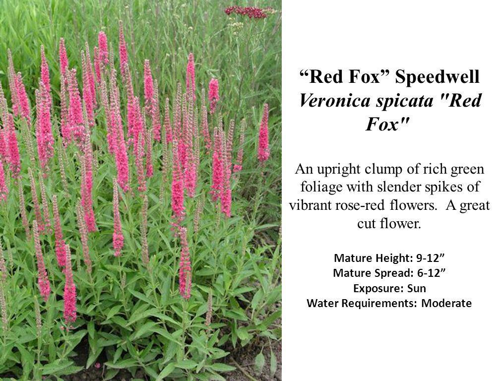 Red Fox Speedwell Veronica spicata Red Fox An upright clump of rich green foliage with slender spikes of vibrant rose-red flowers.