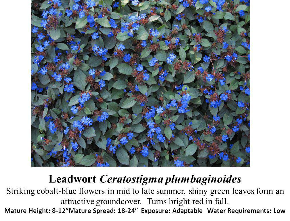 Leadwort Ceratostigma plumbaginoides Striking cobalt-blue flowers in mid to late summer, shiny green leaves form an attractive groundcover.