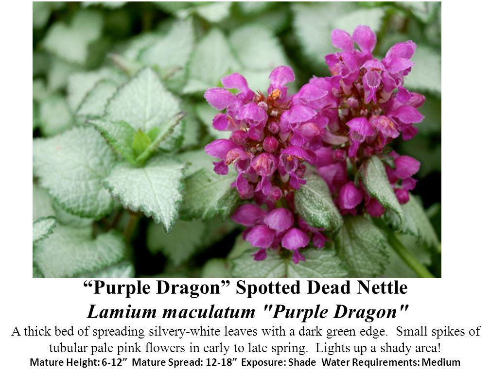 Purple Dragon Spotted Dead Nettle Lamium maculatum Purple Dragon A thick bed of spreading silvery-white leaves with a dark green edge.