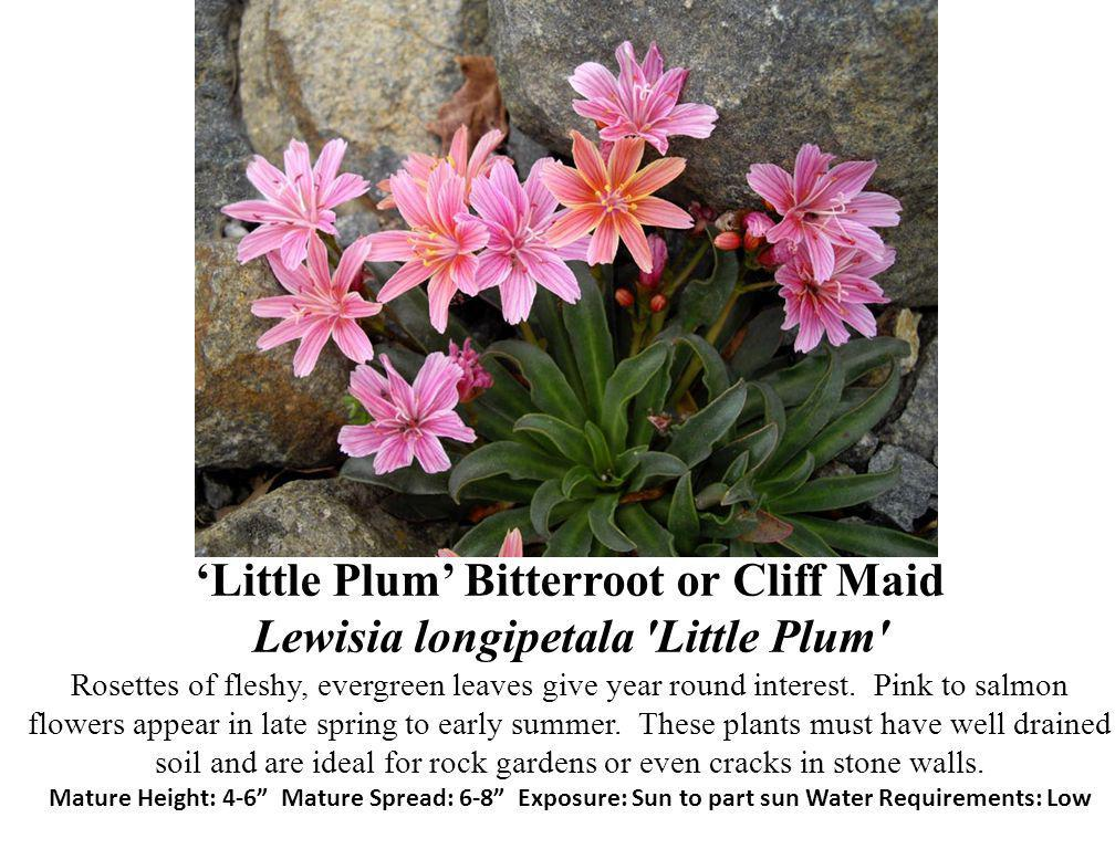 'Little Plum' Bitterroot or Cliff Maid Lewisia longipetala Little Plum Rosettes of fleshy, evergreen leaves give year round interest.