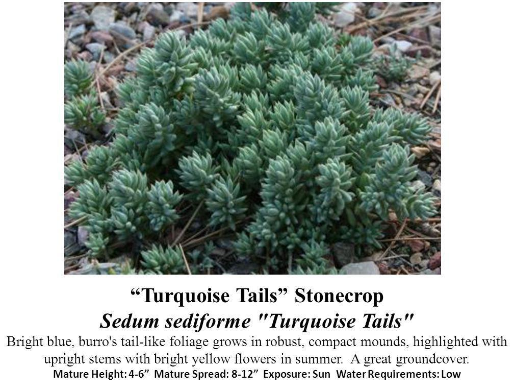 Turquoise Tails Stonecrop Sedum sediforme Turquoise Tails Bright blue, burro s tail-like foliage grows in robust, compact mounds, highlighted with upright stems with bright yellow flowers in summer.