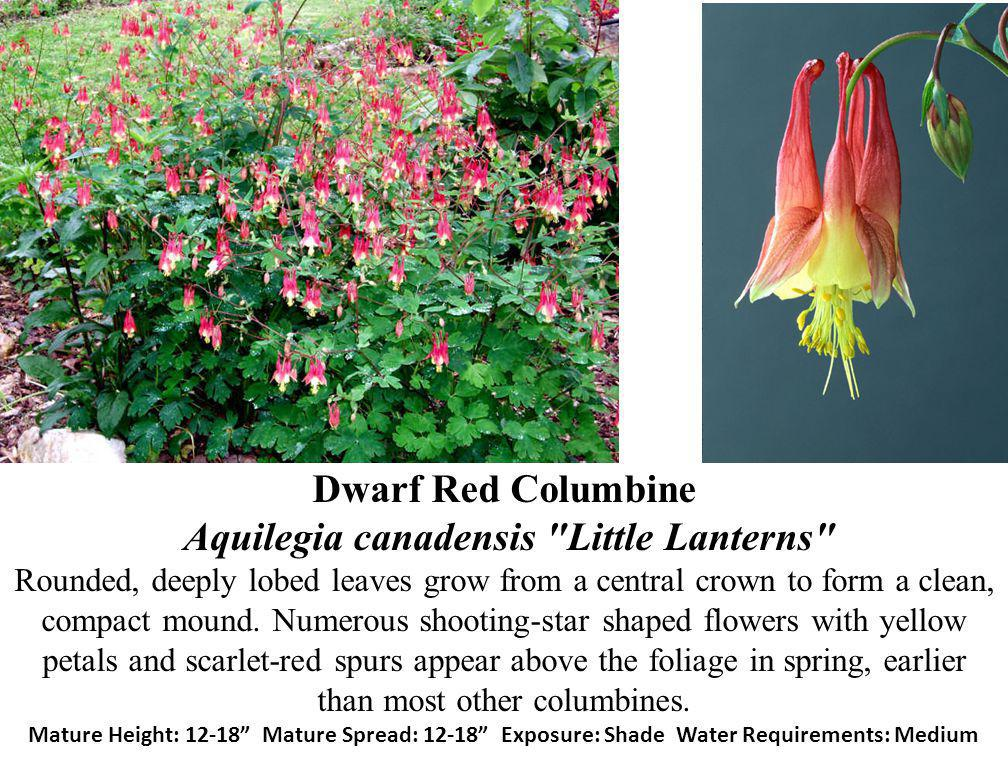Dwarf Red Columbine Aquilegia canadensis Little Lanterns Rounded, deeply lobed leaves grow from a central crown to form a clean, compact mound.