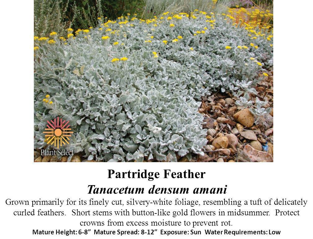 Partridge Feather Tanacetum densum amani Grown primarily for its finely cut, silvery-white foliage, resembling a tuft of delicately curled feathers.