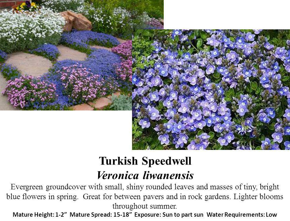 Turkish Speedwell Veronica liwanensis Evergreen groundcover with small, shiny rounded leaves and masses of tiny, bright blue flowers in spring.