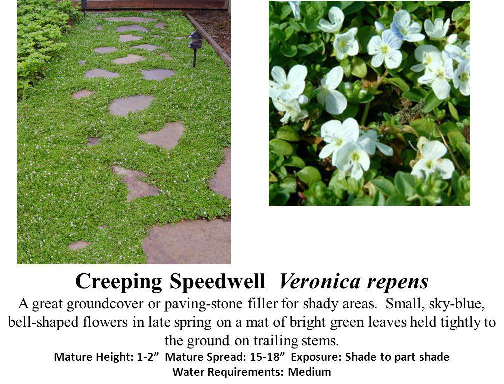 Creeping Speedwell Veronica repens A great groundcover or paving-stone filler for shady areas.
