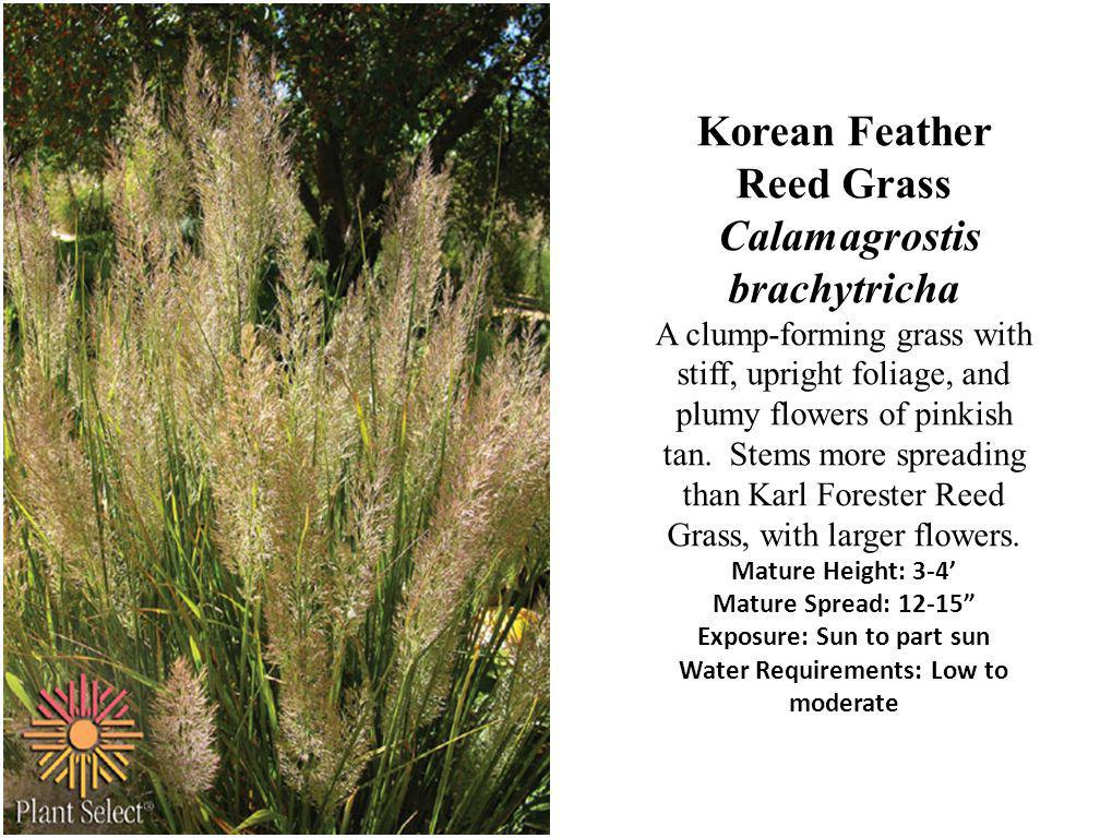 Korean Feather Reed Grass Calamagrostis brachytricha A clump-forming grass with stiff, upright foliage, and plumy flowers of pinkish tan.