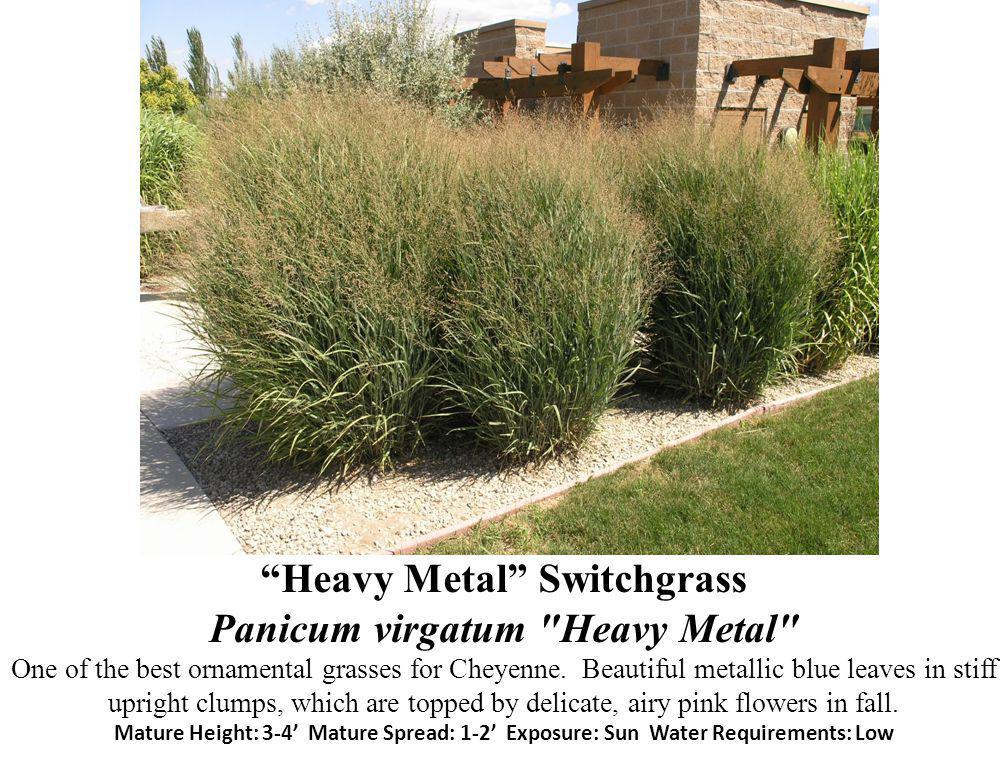 Heavy Metal Switchgrass Panicum virgatum Heavy Metal One of the best ornamental grasses for Cheyenne.