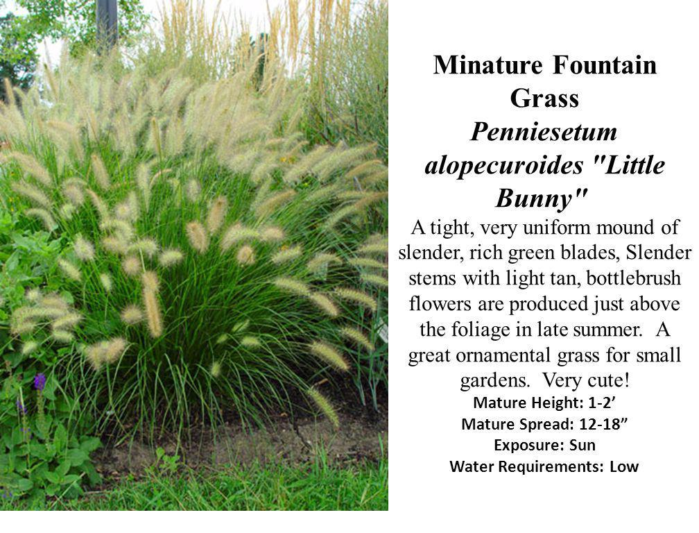 Minature Fountain Grass Penniesetum alopecuroides Little Bunny A tight, very uniform mound of slender, rich green blades, Slender stems with light tan, bottlebrush flowers are produced just above the foliage in late summer.