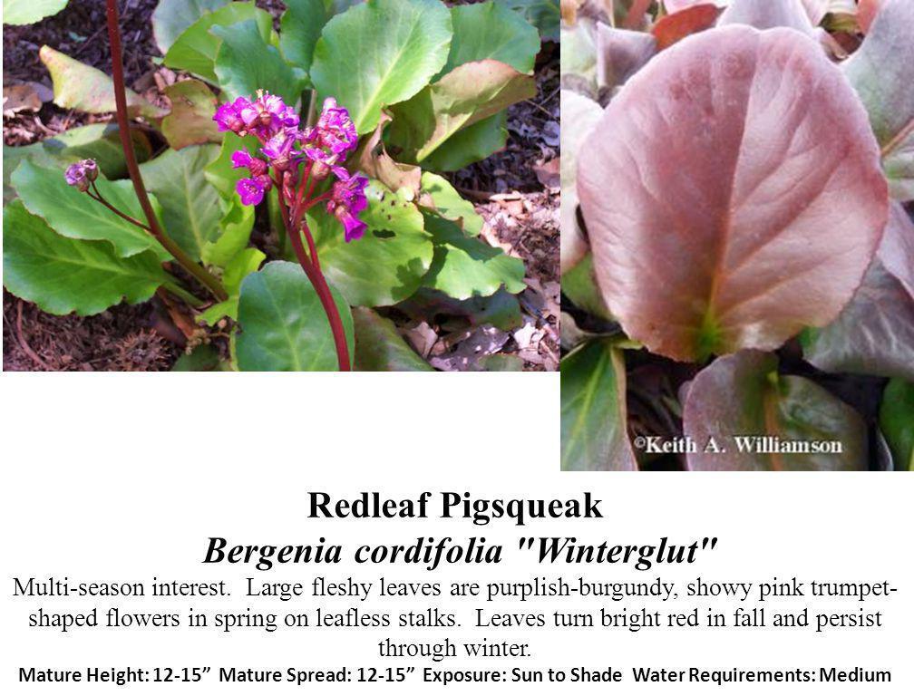 Redleaf Pigsqueak Bergenia cordifolia Winterglut Multi-season interest.