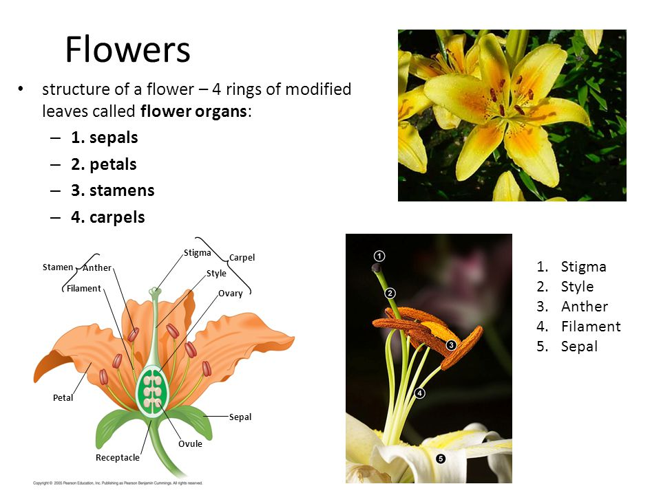 Flowers structure of a flower – 4 rings of modified leaves called flower organs: 1. sepals. 2. petals.