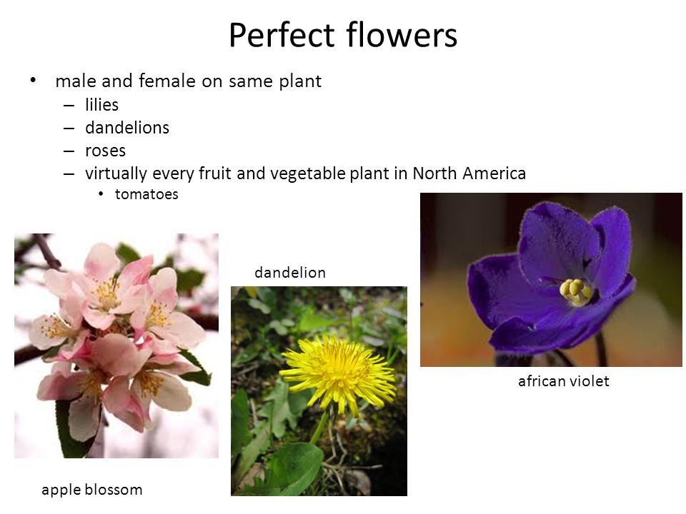 Perfect flowers male and female on same plant lilies dandelions roses