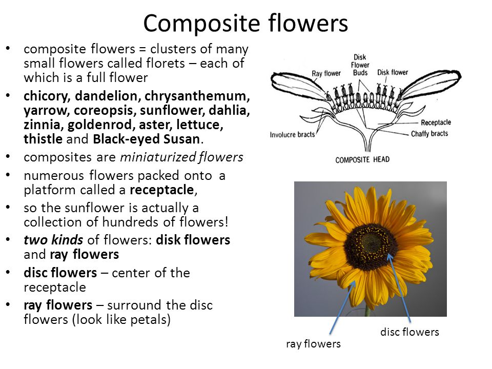 Composite flowers composite flowers = clusters of many small flowers called florets – each of which is a full flower.