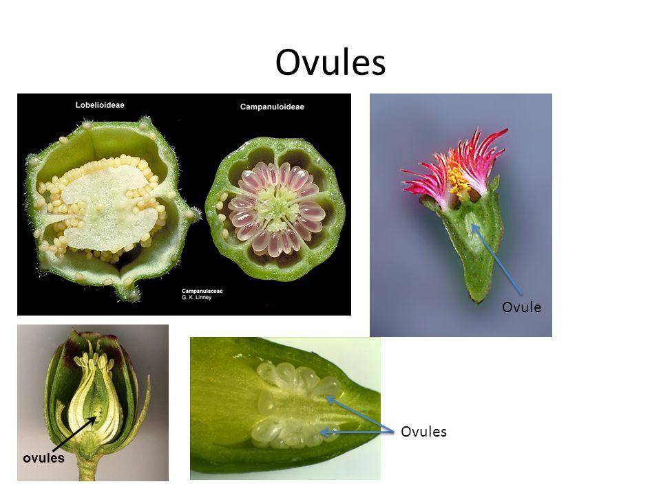 Ovules Ovule Ovules