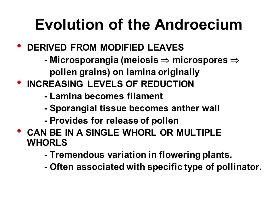 Evolution of the Androecium