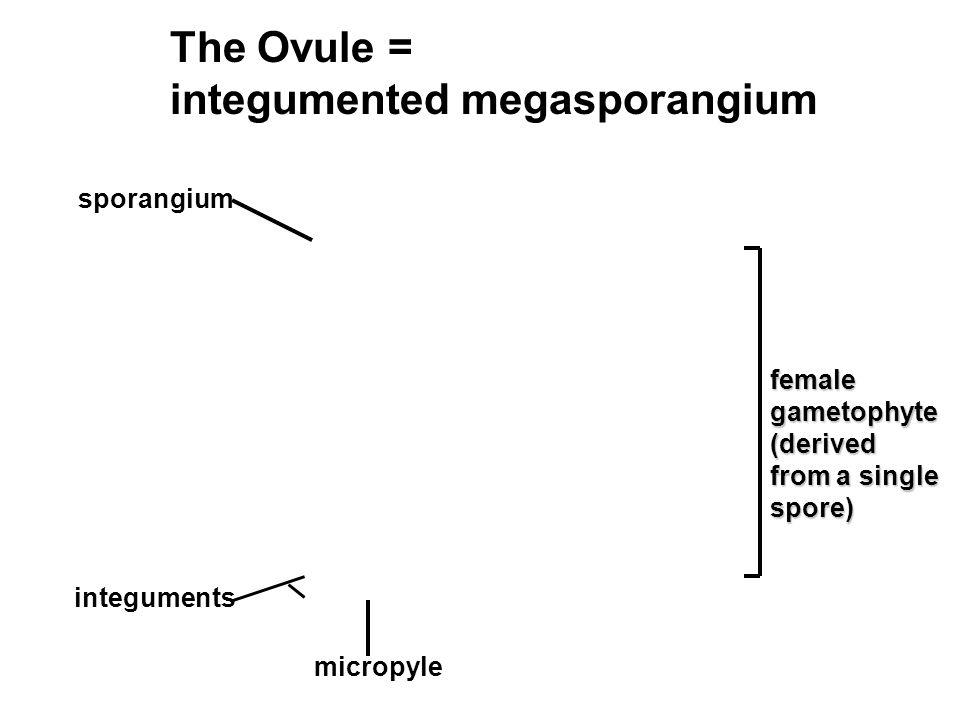 integumented megasporangium