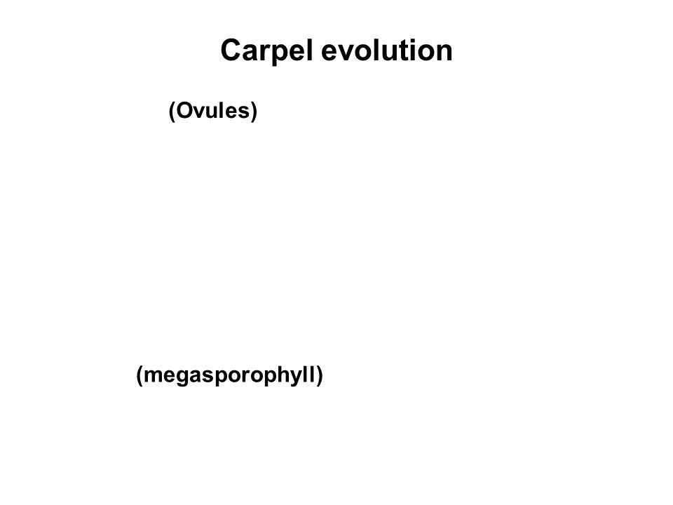 Carpel evolution (Ovules) (megasporophyll)