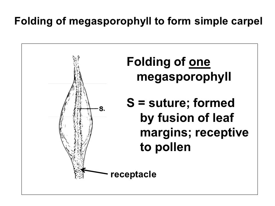Folding of one megasporophyll S = suture; formed by fusion of leaf