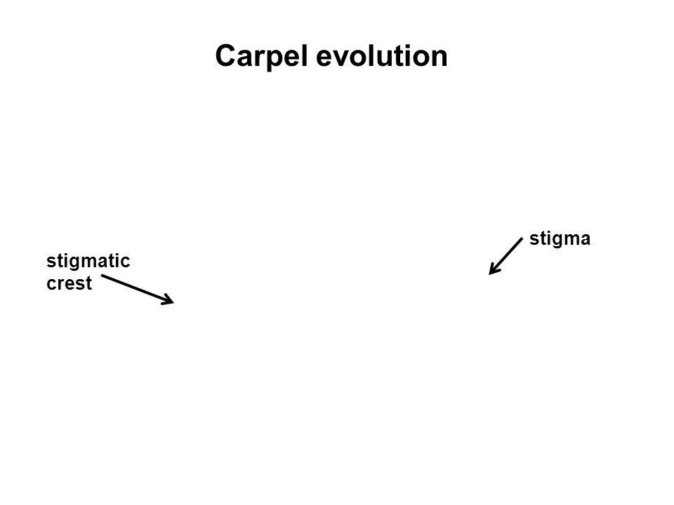 Carpel evolution stigma stigmatic crest